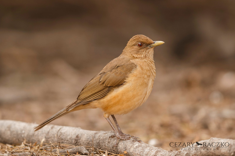 Clay-colored Thrush (Turdus grayi)