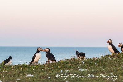 Puffins touching bills (3)