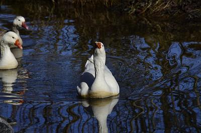 Anatidae -  Chen caerulescens - Snow Goose