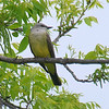 Western Kingbirds Are Back