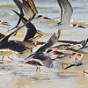 Black Skimmers preparing for flight.