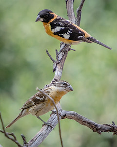Black-headed Grosbeak Pair (male and female}
