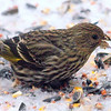 Pine Siskin In The Snow