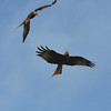 Red Kite Courtship 4