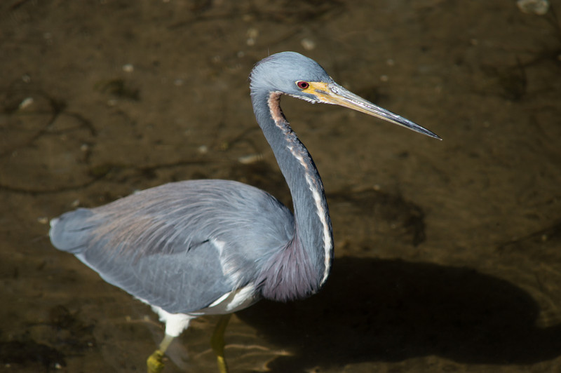 Small blue heron, Bradenton Nature Reserve, Florida,  2