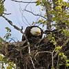 Eagle Feeding Babies.  Kenai Peninsula, Alaska.