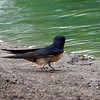 Barn Swallow At Cottonwood Park View 2