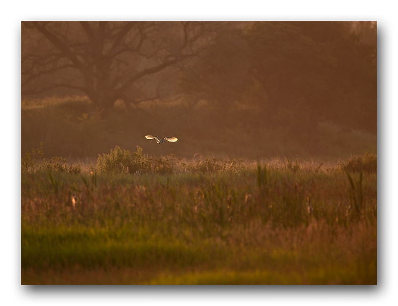 Barn Owl hunting at dusk
