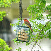 Summer Tanager In The Rain