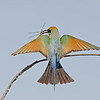 Rainbow Bee-eater Landing with Dragonfly, Federation Walk, Gold Coast, Queensland.