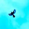 Capturing a Robin in midflight