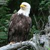 Eagle Looking Proud.  Kenai Peninsula, Alaska.