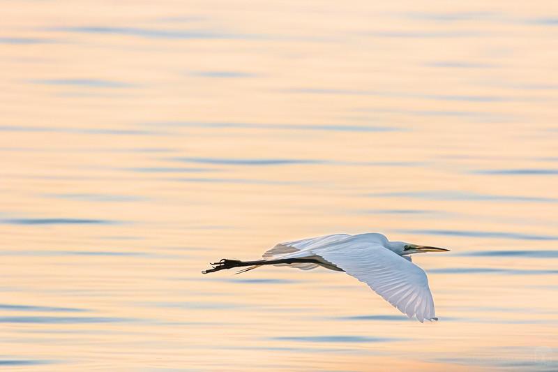 Great egret at sunrise