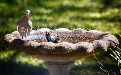 Bird bathing-1