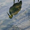 Great Egret ~ Liquid Shadow