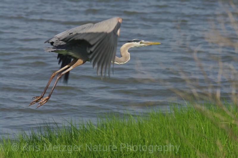 Great Blue Heron (in flight) Ardea herodias May 2013; Bombay Hook Wildlife Refuge, DE