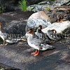 Mergus merganser-Common merganser 3