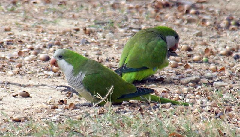 Monk Parakeets Eating Acorns View 4