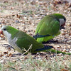 Monk Parakeets Eating Acorns View 4