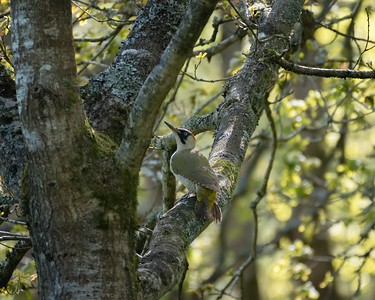 Green Woodpecker in Bowdown Woods - 3rd May 2018
