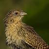 Pheasant Coucal (Centropus phasianinus) juvenile