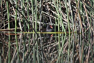 Common Gallinule (Gallinula galeata)