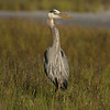 Great Blue Heron #26