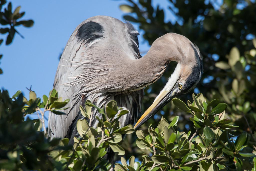 IMAGE: https://photos.smugmug.com/Birds/i-L7D78Tb/0/XL/GBH%2010102016-835-XL.jpg