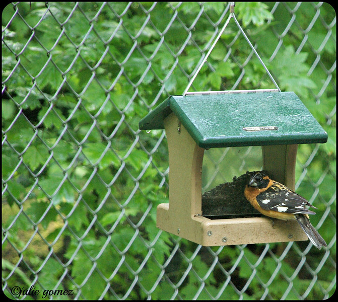 Male Black-headed Grosbeak ~ Pheucticus melanocephalus