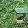 Male Black-headed Grosbeak ~ Pheucticus melanocephalus