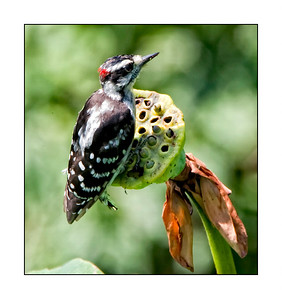 Hairy Woodpecker (Picoides, villosus)