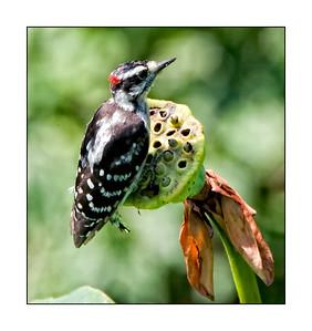 Hairy Woodpecker (Picoides, villosus)