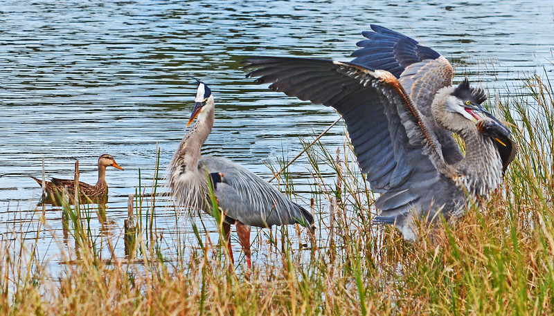 WILDLIFE SCENE WITH BLUE  - WINGED TEAL AND GREAT BLUE HERONS