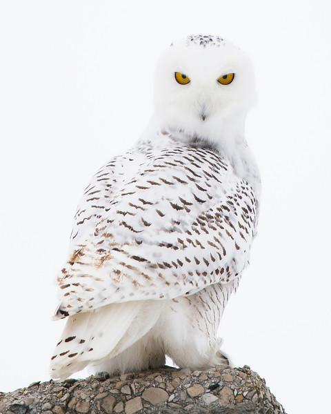 Snowy Owl Stare