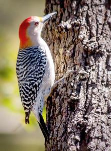 Woodpecker-2