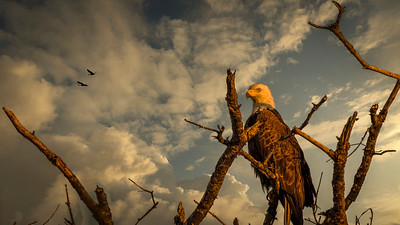 Early Morning Eagle Experience