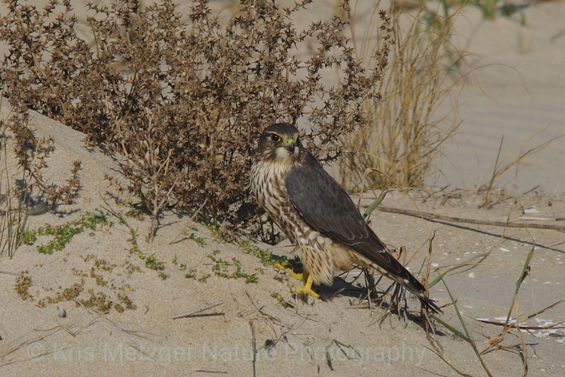 Merlin (Falco columbarius) Falcon Assateague Island, VA 11/2013