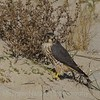 Merlin (Falco columbarius) Falcon<br /> Assateague Island, VA 11/2013