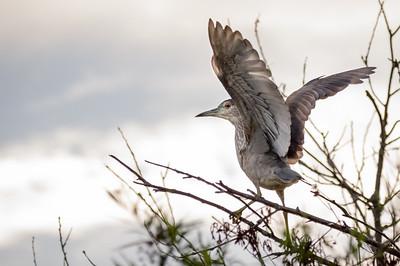 Night Heron Takes Flight