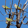 Princess Parrots at rest