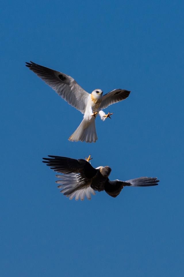 Juvenile White-Tailed Kites