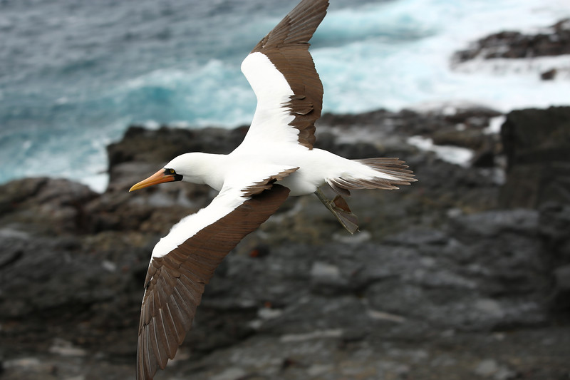 Nazca Booby, Punta Suarez, Española, Galápagos Islands, Ecuador