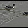 A Pair of Western Grebes
