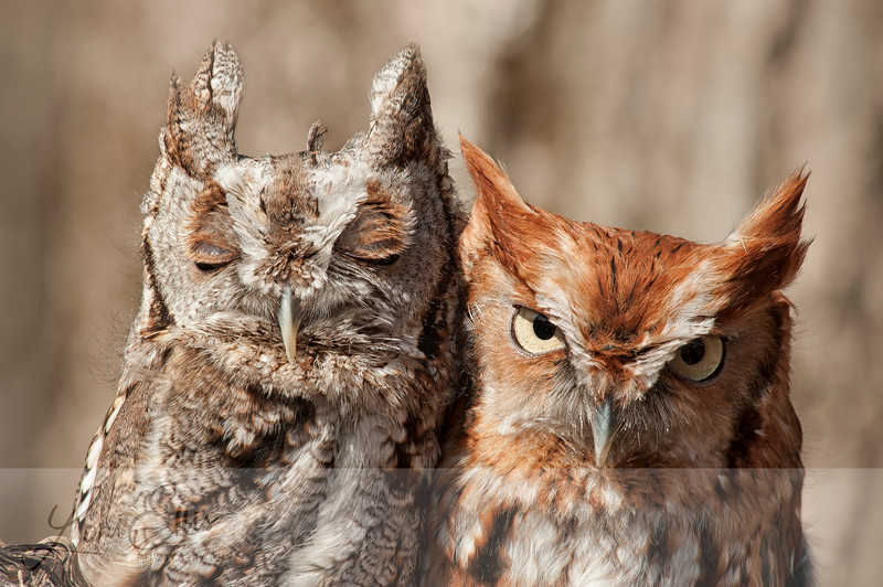 Screech Owls - Gray and Rust - Eyes Closed