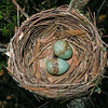 Yellow Robin Nest Eggs