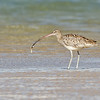 Eastern Curlew catching a Yabby, Unnamed Island, The Broadwater, Gold Coast, QLD.