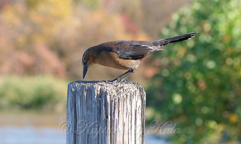 Female Great-tailed Grackle Looking  At Something