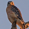 Red-shouldered Hawk.