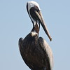 Pelican Bird Picture