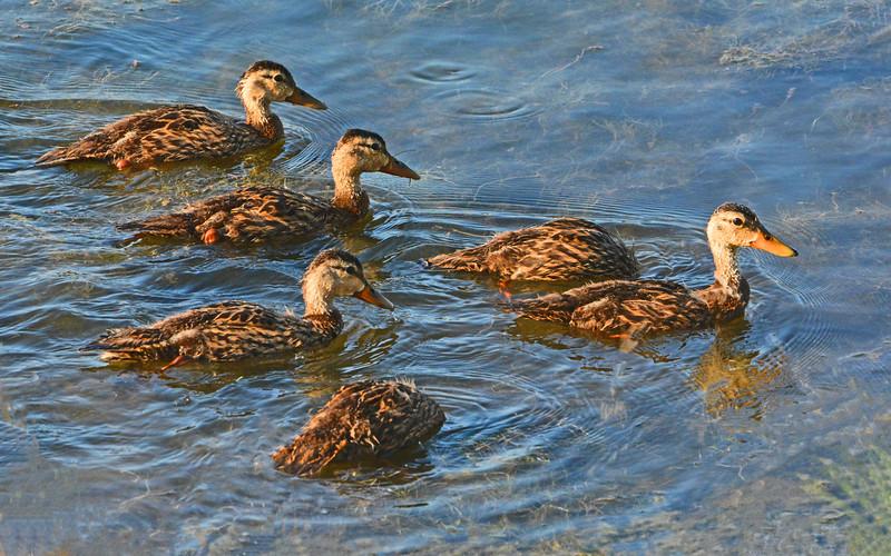 Flock of Juvenile Blue Winged Teal.